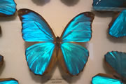 モルフォ蝶の標本
